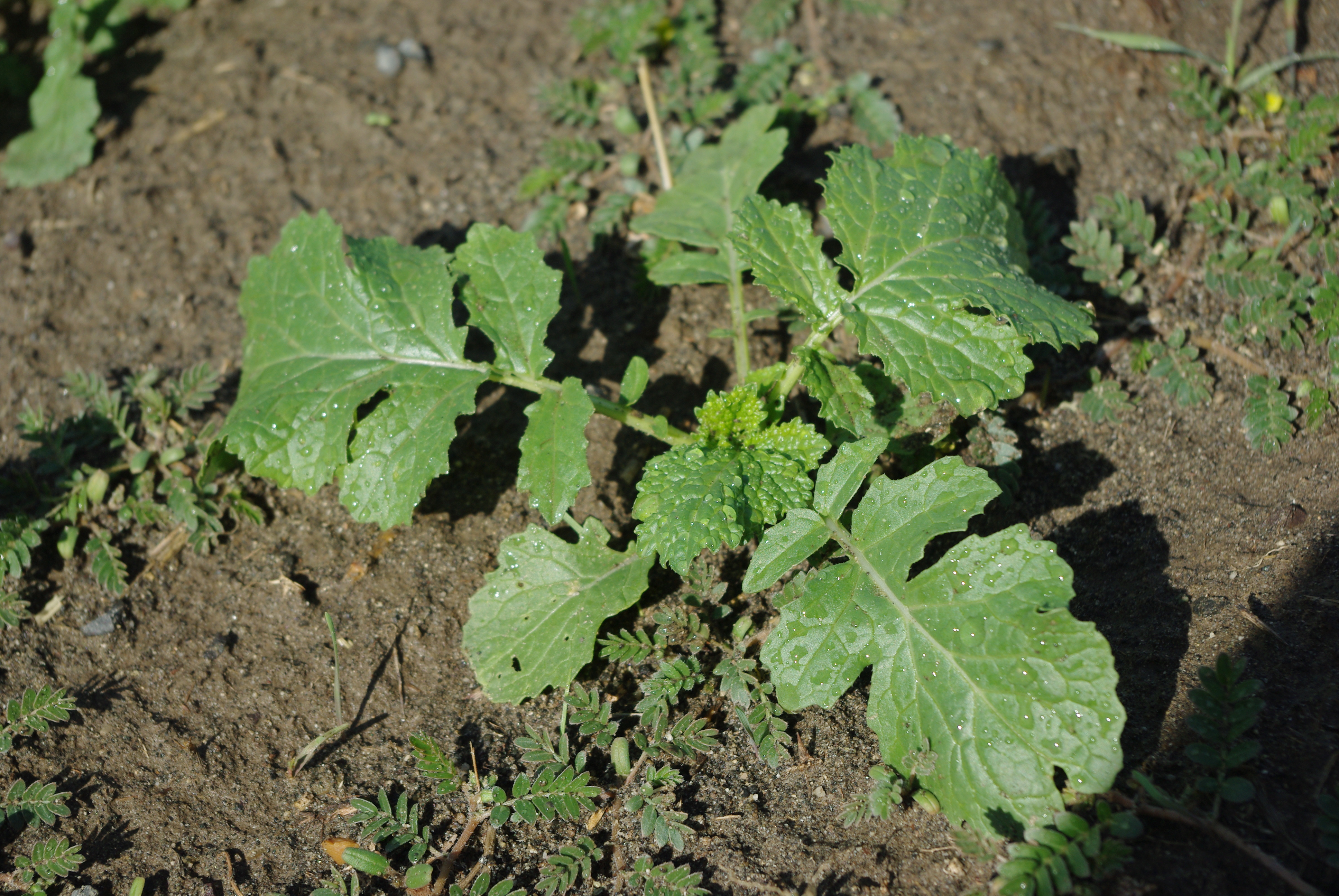Mustard seedling   Dept. of Crop and Soil Sciences   Washington ...