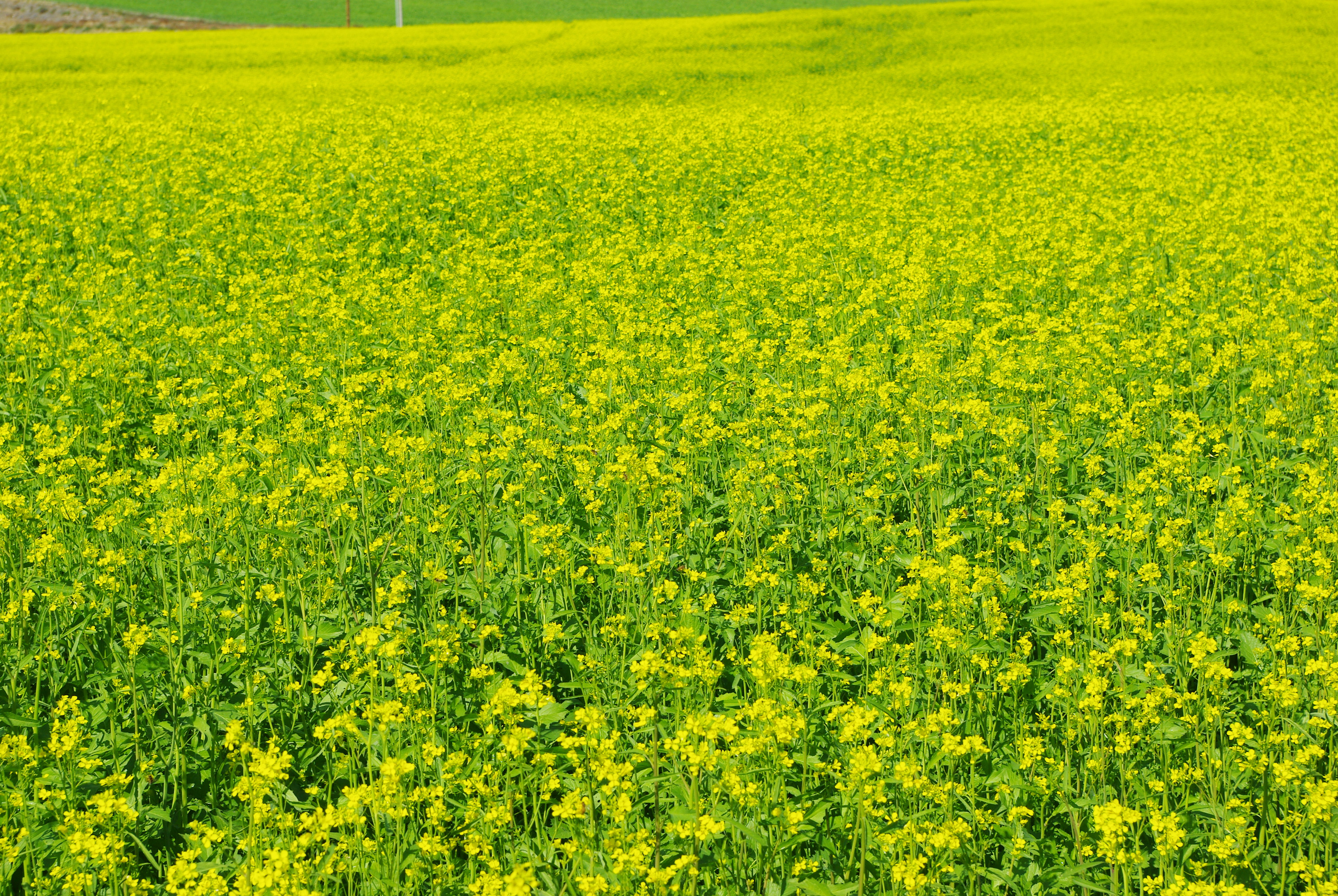 Mustard Crop Images Galleries With A
