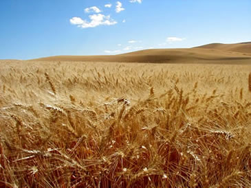 Barley on the Palouse