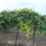 Grapesrandom-chlorosis-3
