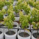 Potted-Wine-grapes