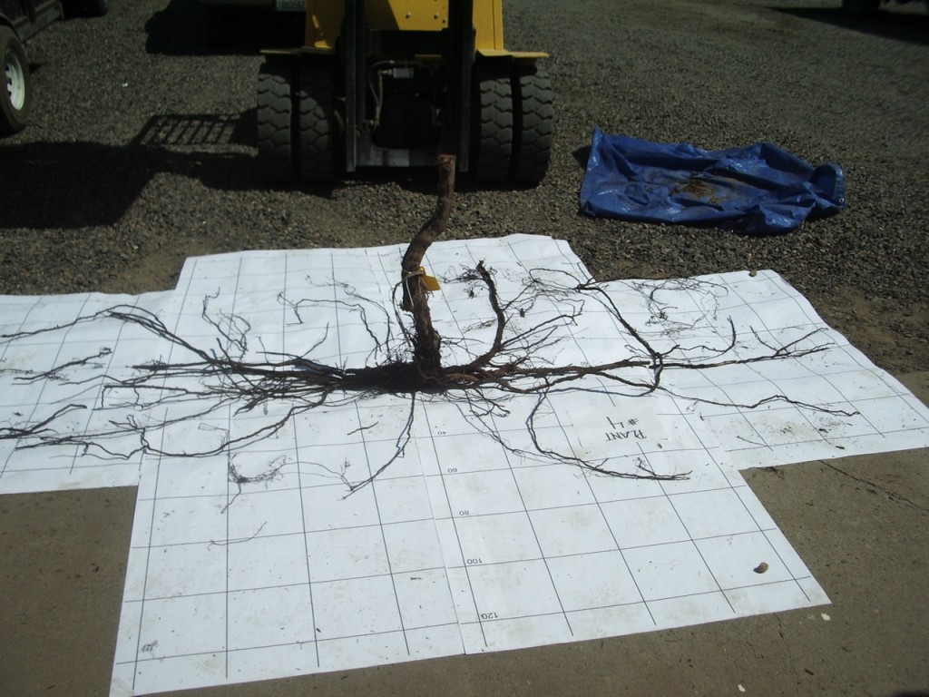 Roots laid out on paper