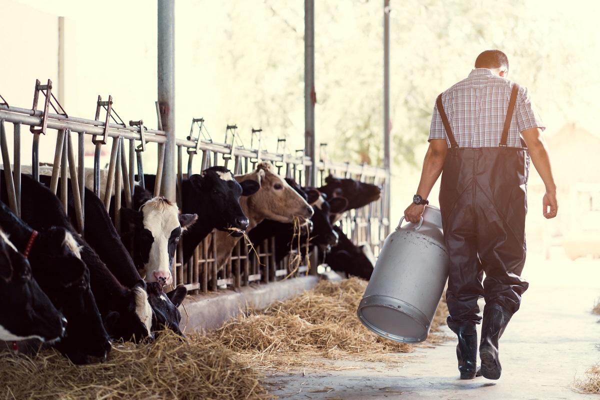 Farm worker feeding cows