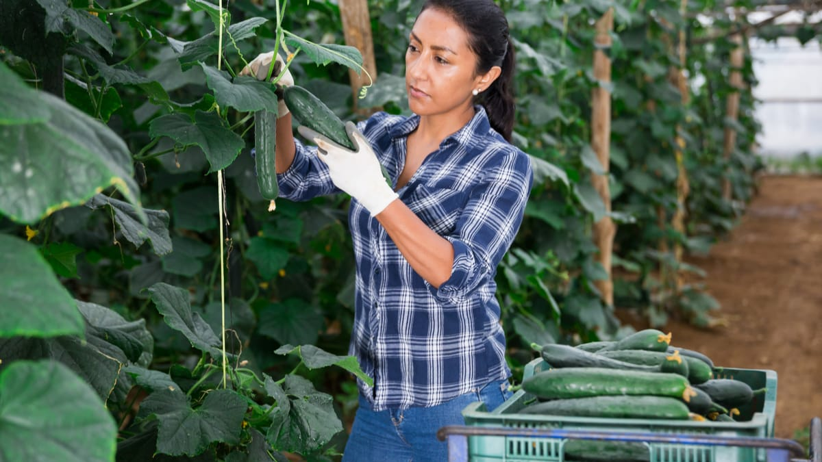 Latino female farmer picking to crate freshly harvested cucumbers in hothouse
