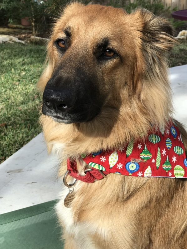 Lucy in her holiday scarf