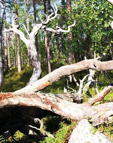 Fallen tree2 online
