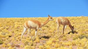 Par de guanacos caminando en Atacama