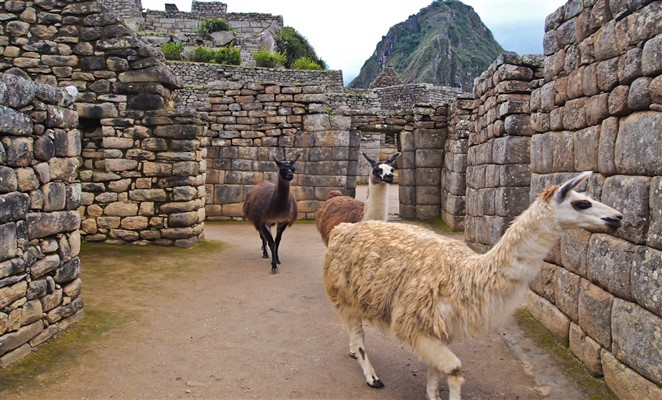 opciones_maneras_llegar_machu_piccu_trekking_llamas