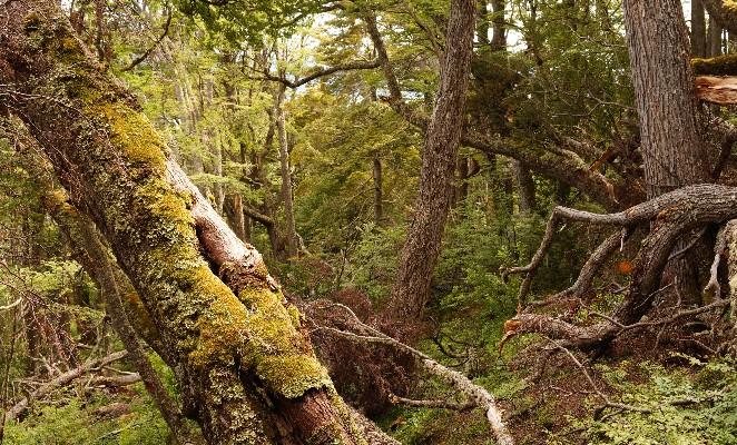 dientes-navarino-trekkking-bosque-denomades