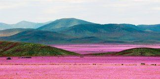 desierto-florido-en-chile