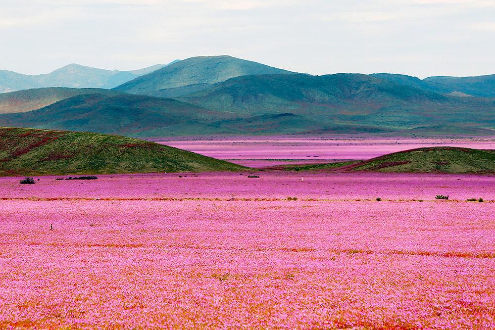 Desierto florecido de color rosado y montañas