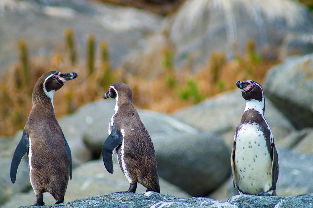 Tres pingüinos sobre rocas