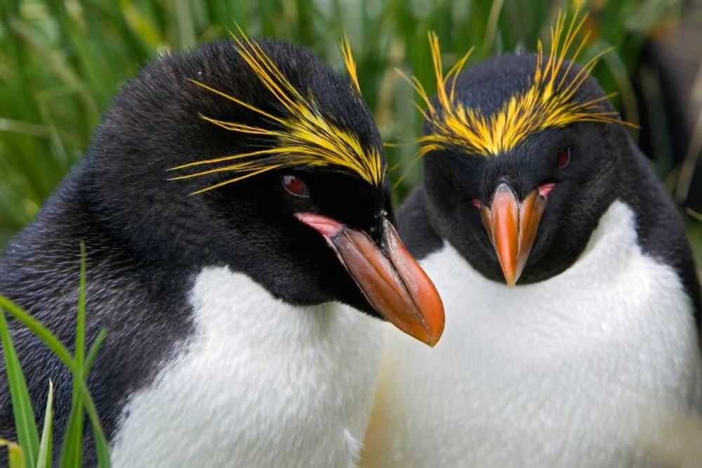 Pareja de pinguinos macaroni