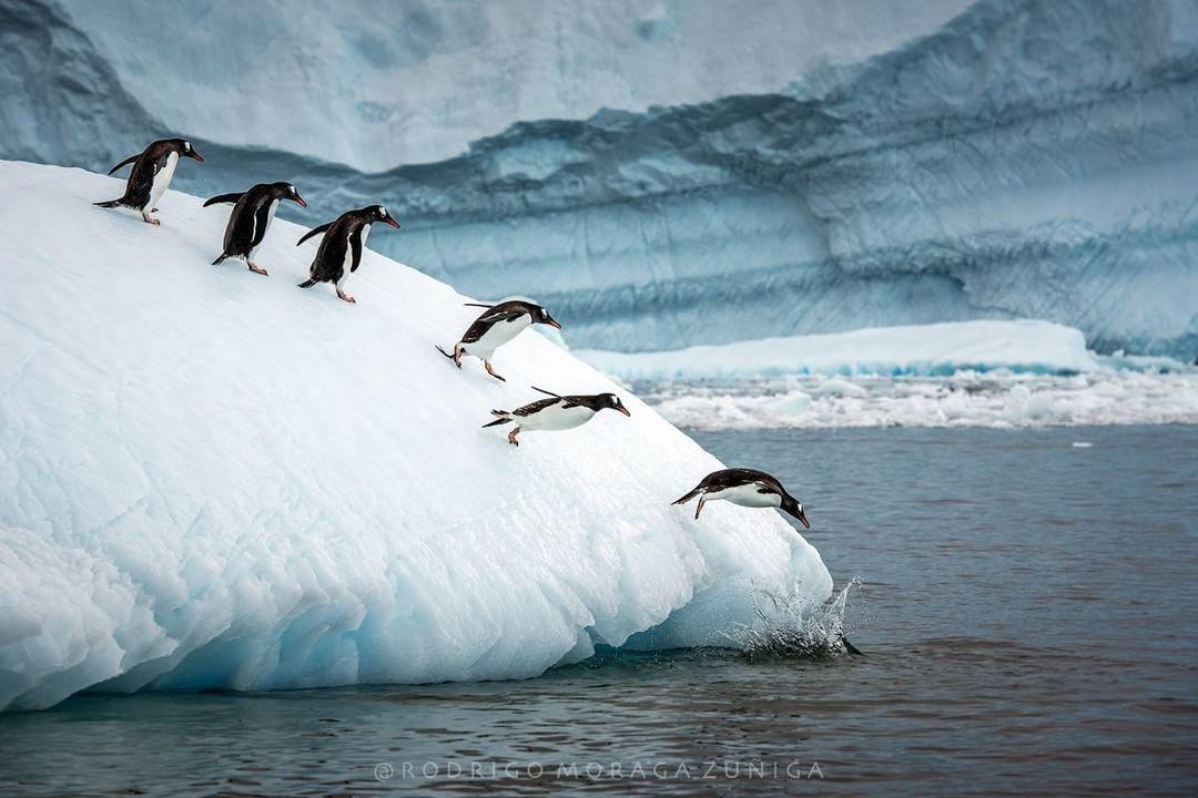 Pingüinos Papúa saltan al agua desde el hielo