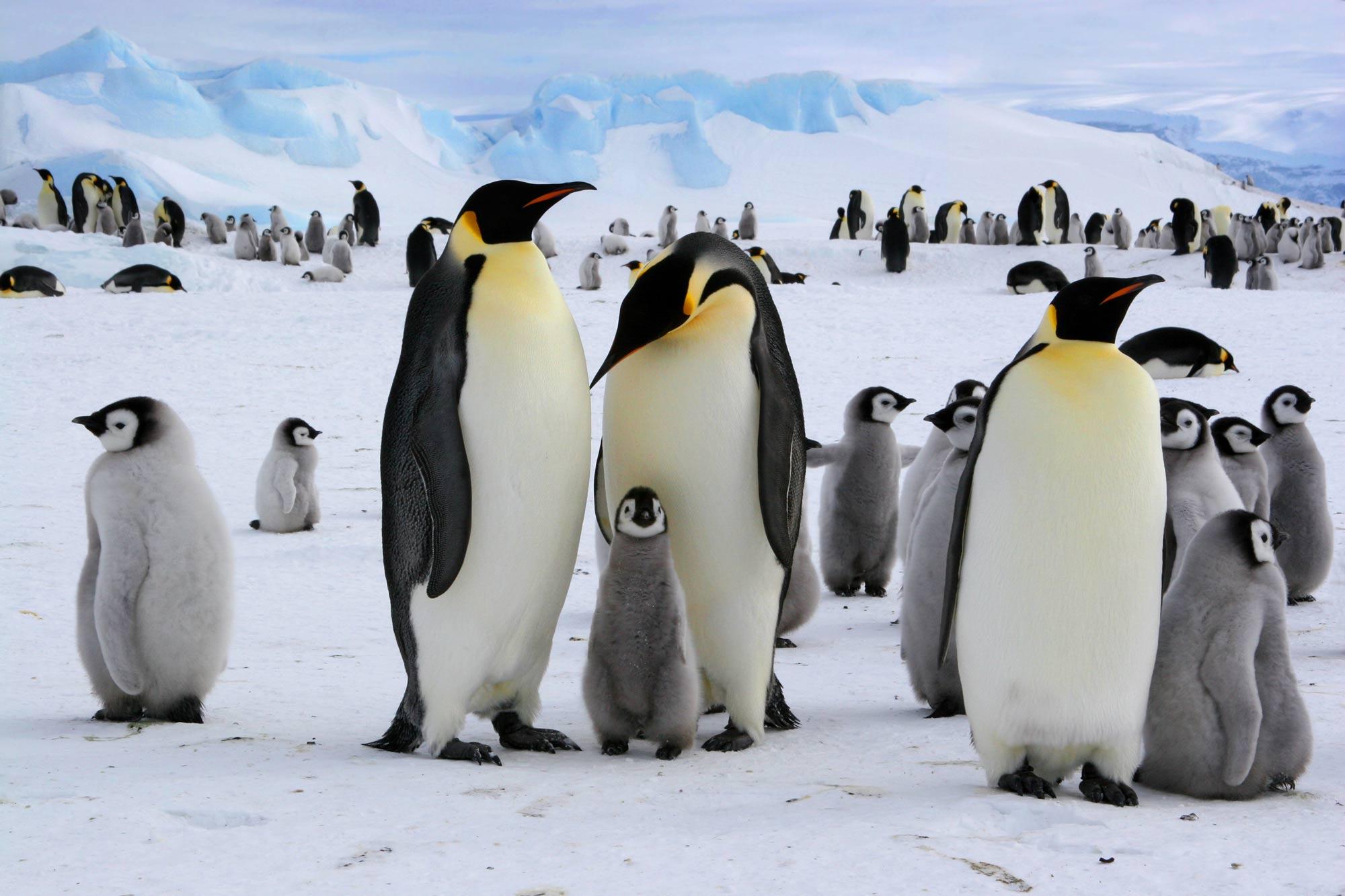 Familia de pingüinos emperador en la antártida