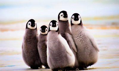 Pinguinos bebes