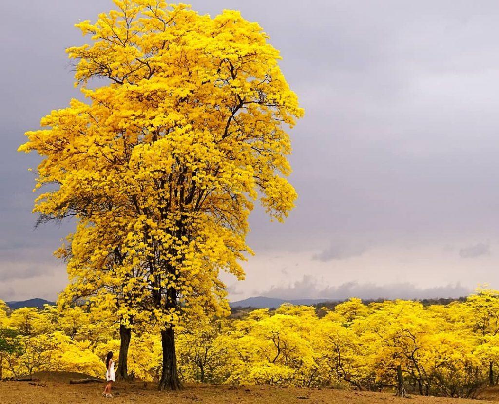 Árboles completamente amarillos en uno de los lugares de Sudaméricam más espectaculares