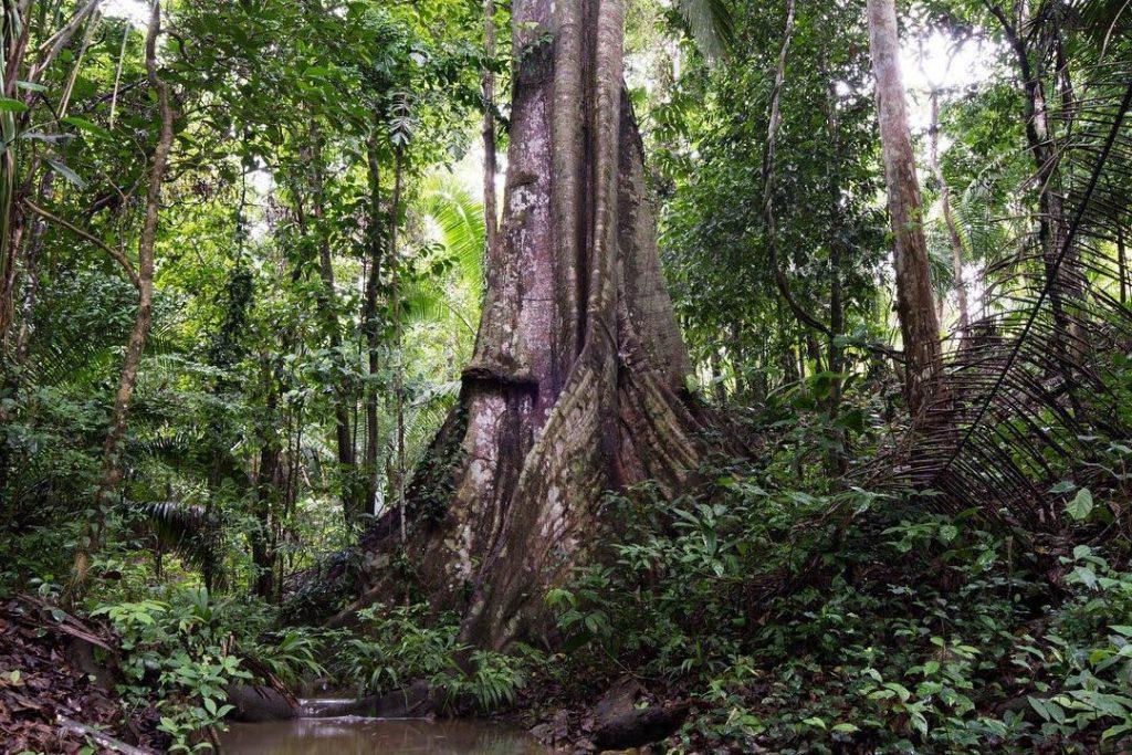 Arbol milenario gigante en medio de la selva