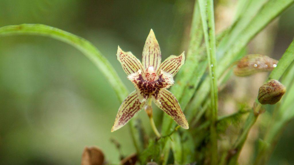 Orquidea amarillo cafesosa en camino a catarata