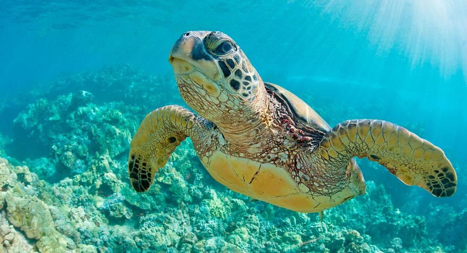 Primer plano de una tortuga nadando en Máncora