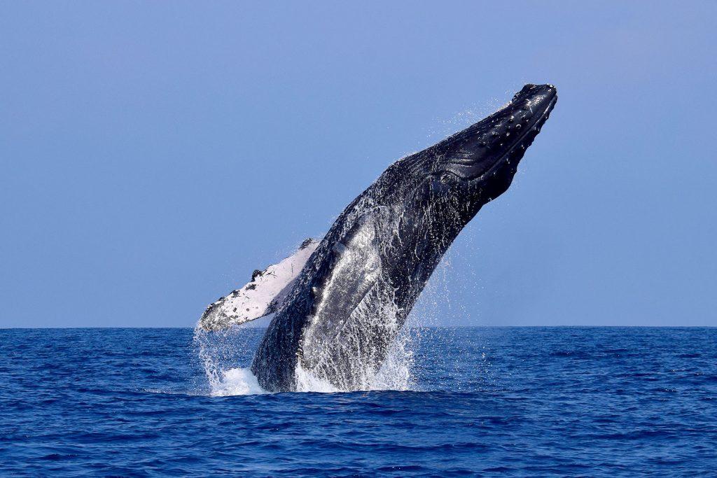 Ballena jorobada se eleva sobre el mar