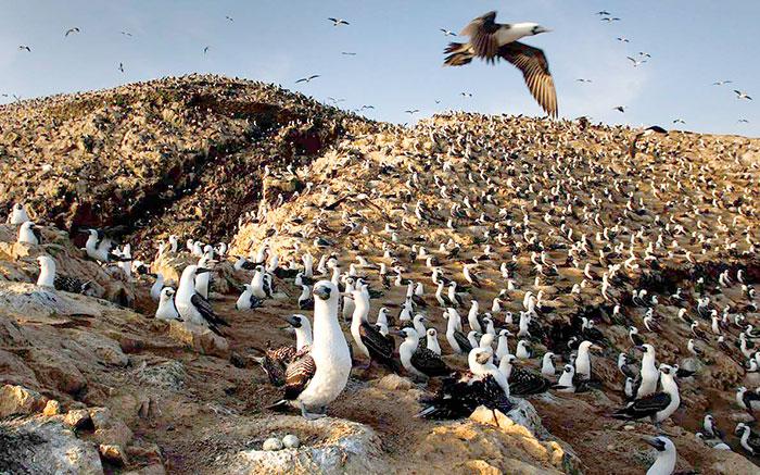 Miles de gaviotas juntas en el Perú