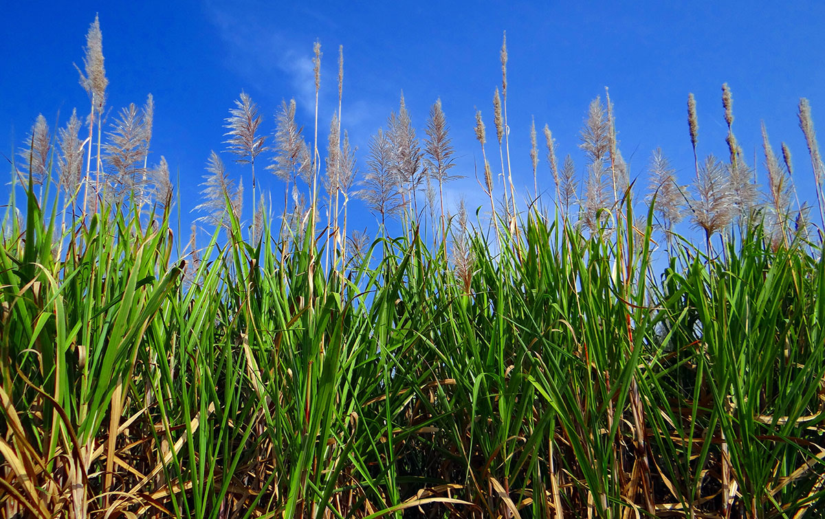 Cachaça: Sugarcane