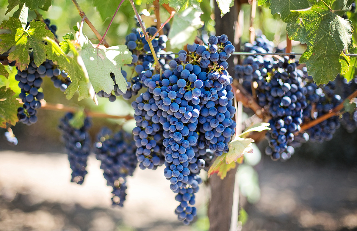 American Brandy: wine grapes