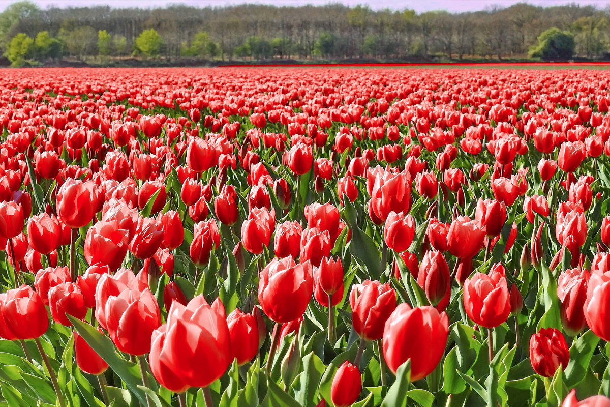 Tulip Vodka: A tulip field in Bollenstreek