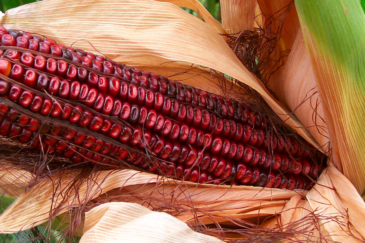 Corn Whiskey: Bloody Butcher Corn