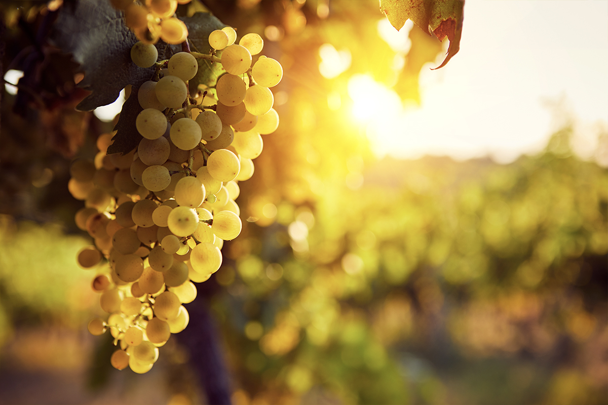 Climate Change and Spirits: grapes