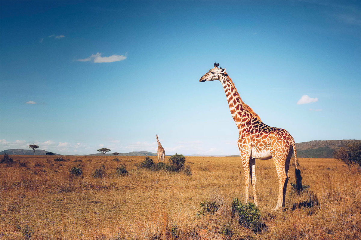 Glenmorangie Launches Conservation Effort To Save The Giraffe
