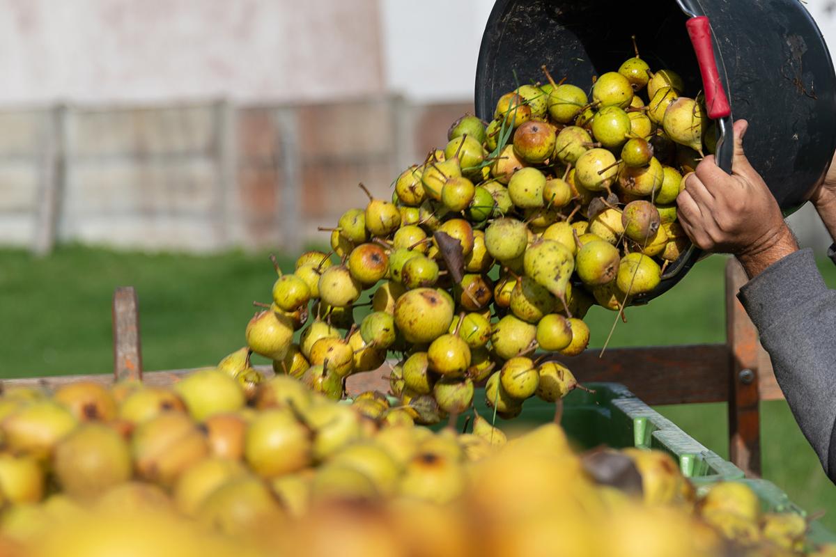 Calvados Guide: Calvados apples