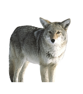 Picture of Montana Decoy CO 2D Kojo Coyote Decoy