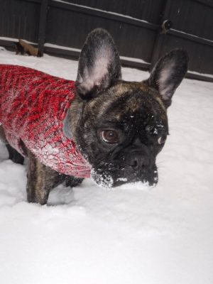 Frenchie in the Snow