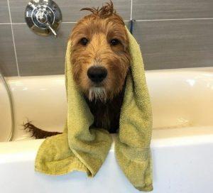 Dog with Towel on Head