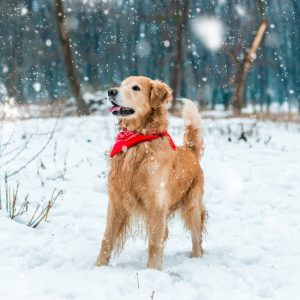 Golden Retriever Playing in Snow