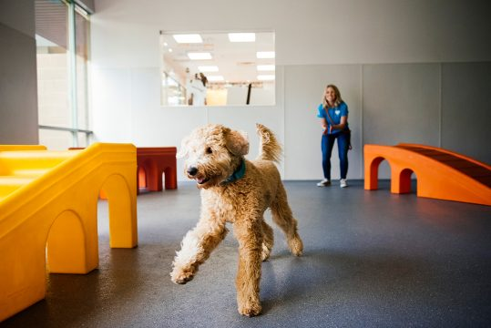 Happy golden doodle playing in dogtopia dog daycare center