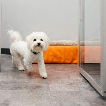 Bichon Frise dog walking