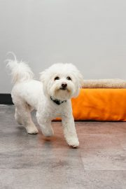 Bichon Frise dog walking in Dogtopia playroom