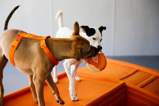 Two dogs biting the toy in a Dogtopia dog daycare playroom