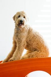 Golden doodle sitting on the slide in the Dogtopia playroom