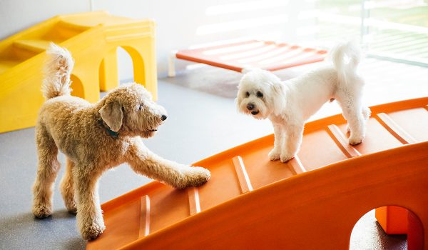 Two dogs playing at dog daycare