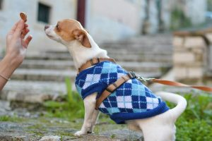 Dog in Sweater Getting Treat
