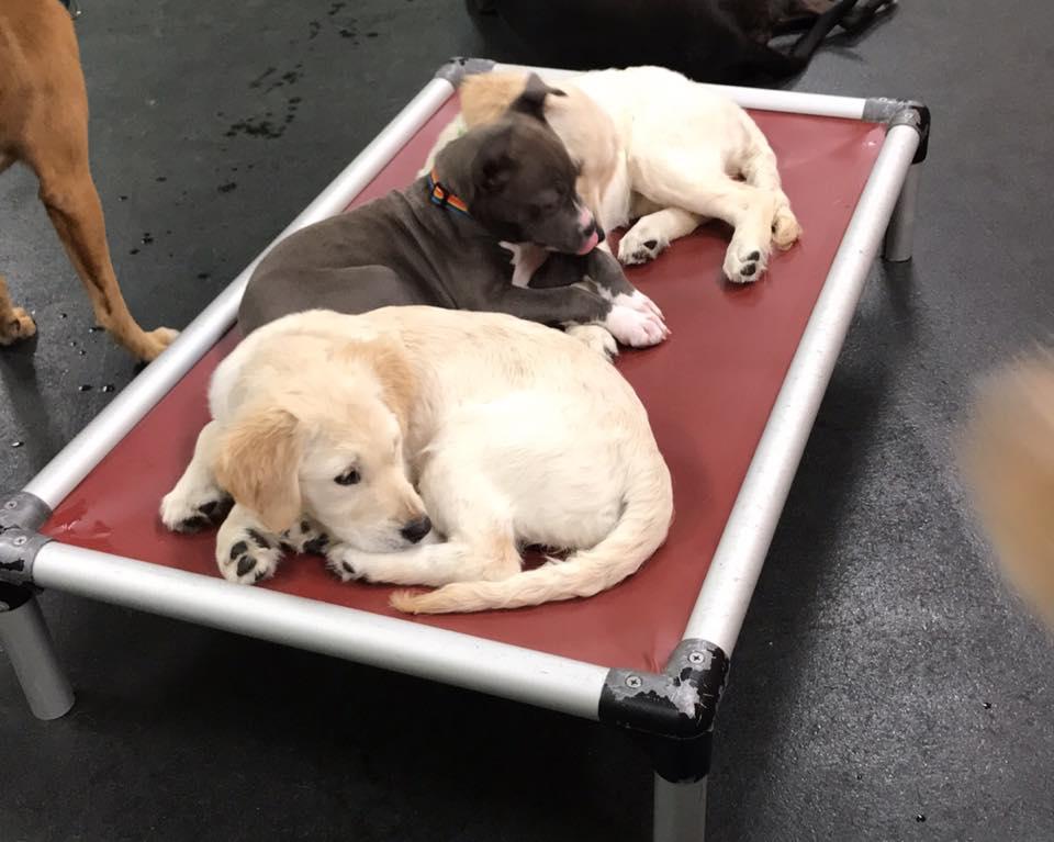 puppy daycare utica mi