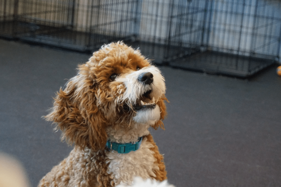 Cute doodle puppy waiting at Dogtopia Meadowvale