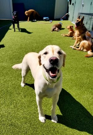 doggie day care services for golden labradors