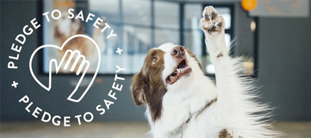 """Border collie raising a paw. Logo on the picture says """"Pledge to safety"""".   Dogtopia of Elsmere"""