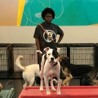 Kimberly with our Gym dogs (Brody the American Staffordshire Terrier, Neo the Pit Mix, Gabby the German Shepherd Mix, and Shadow the German Shepherd Mix)