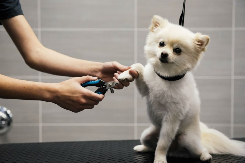 Small white dog getting its nails trimmed at Dogtopia of The Woodlands North Spa.